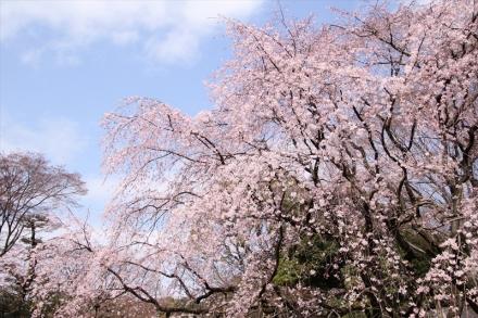 青空枝垂桜