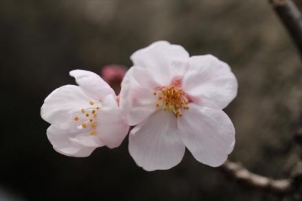 みんなで同じ桜を撮影