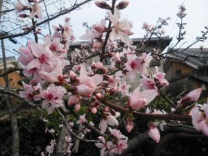 4-3桃の花