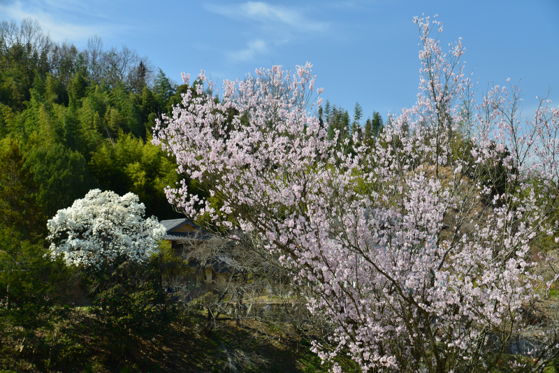 「春・里山」4 (香川県香川町)