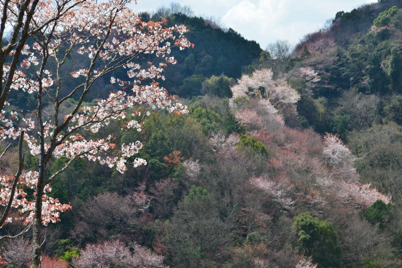 「山桜萌えて3」 (香川県)