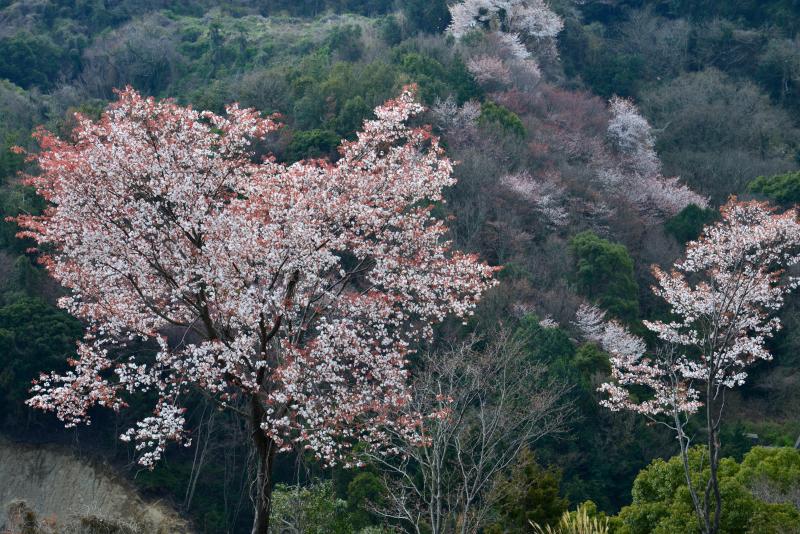 「山桜萌えて2」 (香川県)