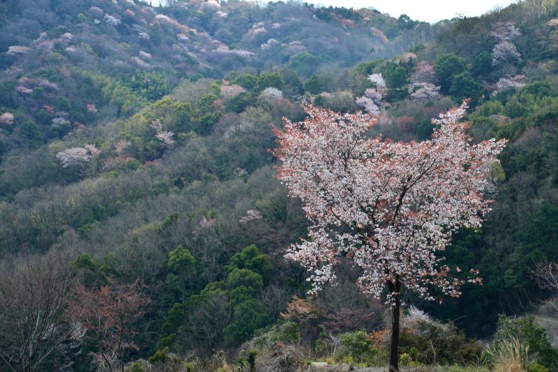 「山桜萌えて1」 (香川県)
