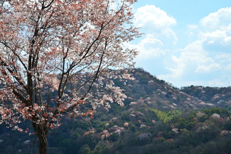 「山桜萌えて4」 (香川県)