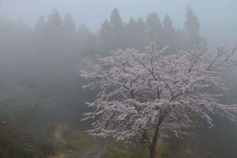 「霧中桜2」 (徳島県つるぎ町)