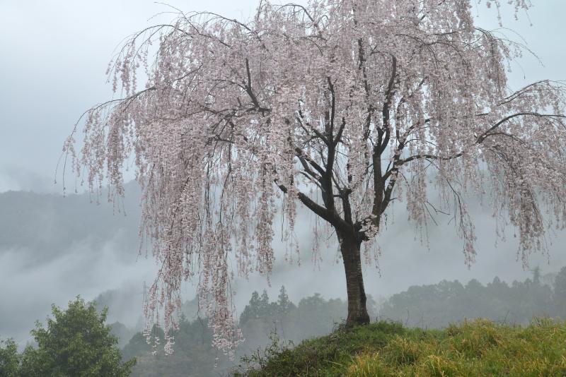 「霧中桜6」 (徳島県つるぎ町)