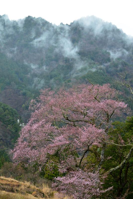 「霧中桜5」 (徳島県つるぎ町)