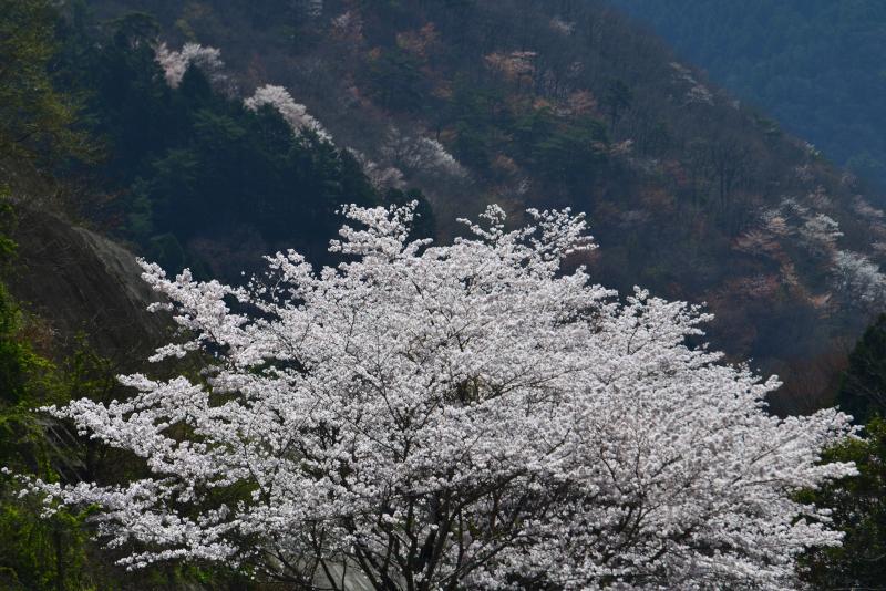 「爛漫 山桜2」 (香川県まんのう町)