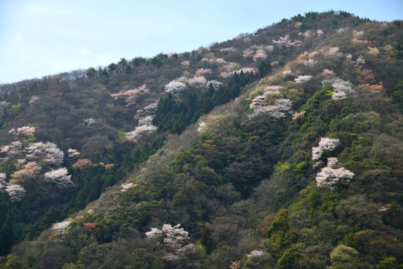 「爛漫 山桜」 (香川県まんのう町)