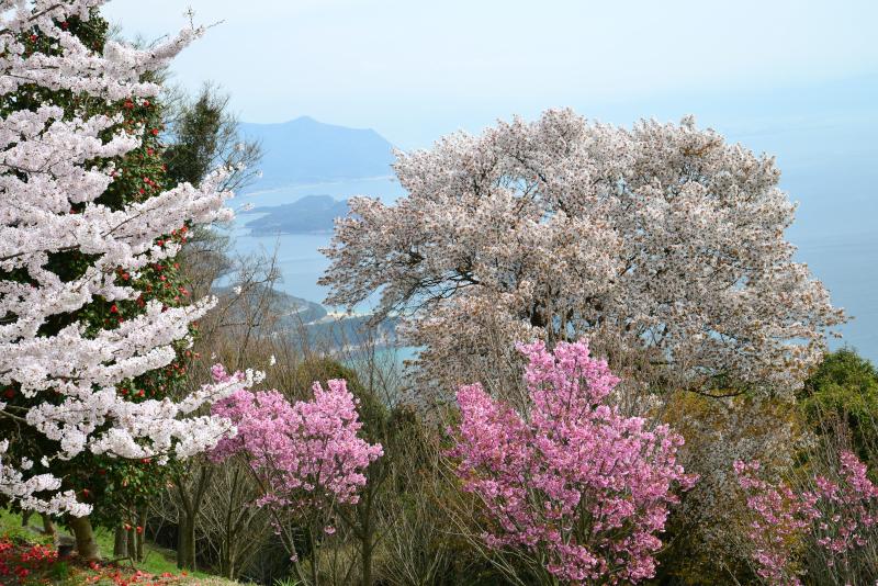 「紫雲出山 桜1」 (香川県三豊市)