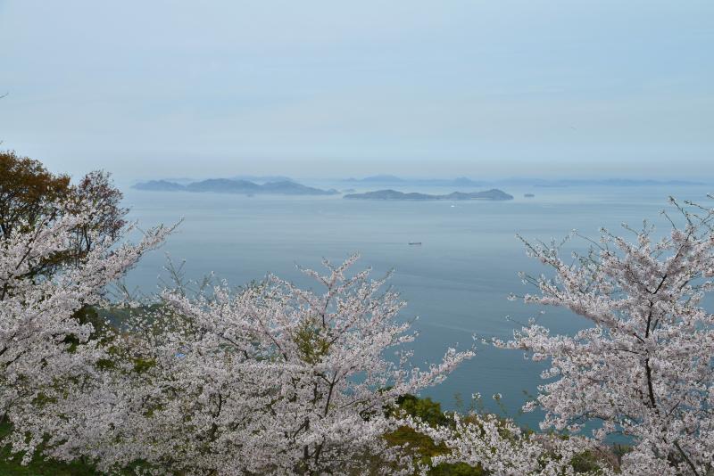 「紫雲出山 桜3」 (香川県三豊市)
