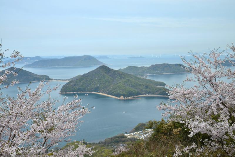 「紫雲出山 桜4」 (香川県三豊市)
