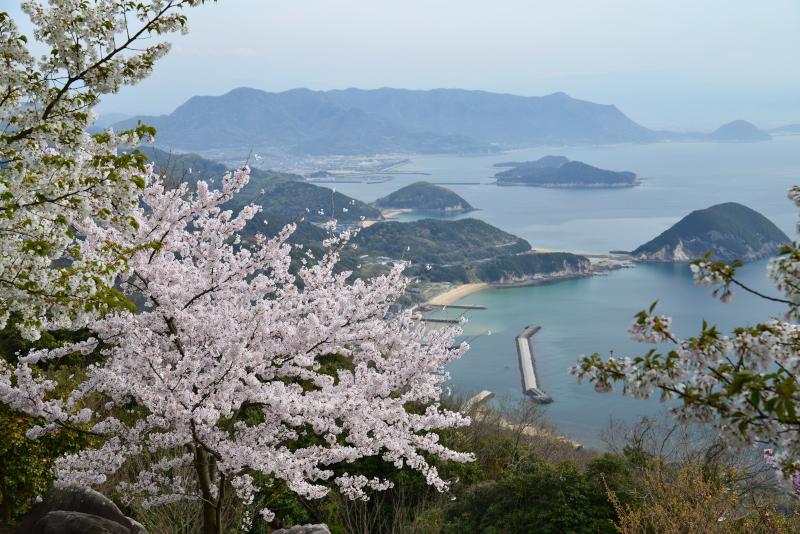 「紫雲出山 桜2」 (香川県三豊市)