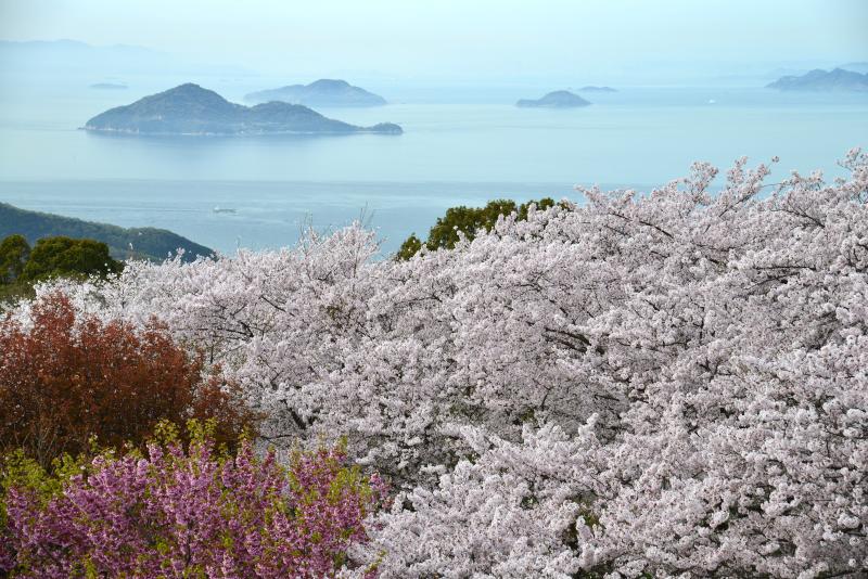 「紫雲出山 桜5」 (香川県三豊市)