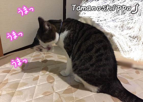 食後のお手入れをする(顔を洗う)猫(ちび)