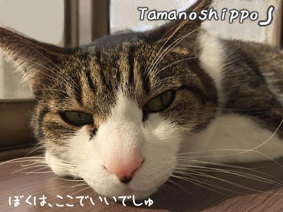 不機嫌なお顔の猫(ちび)窓