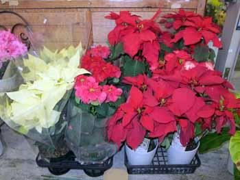 20151203_道の駅クリスマスの花々1