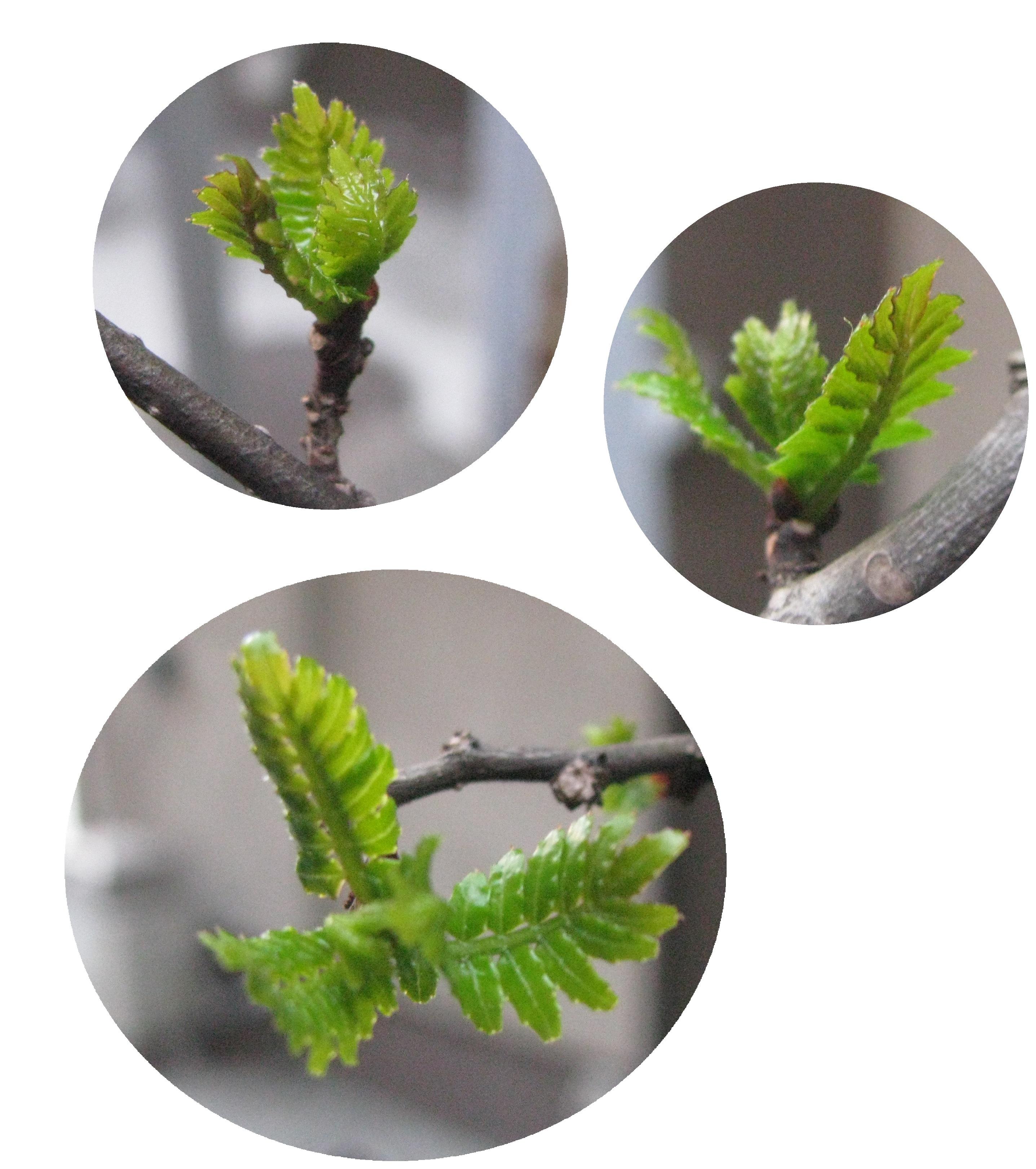 IMG_1482木の芽
