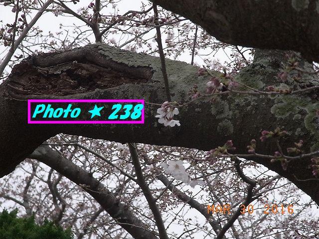 2016桜③