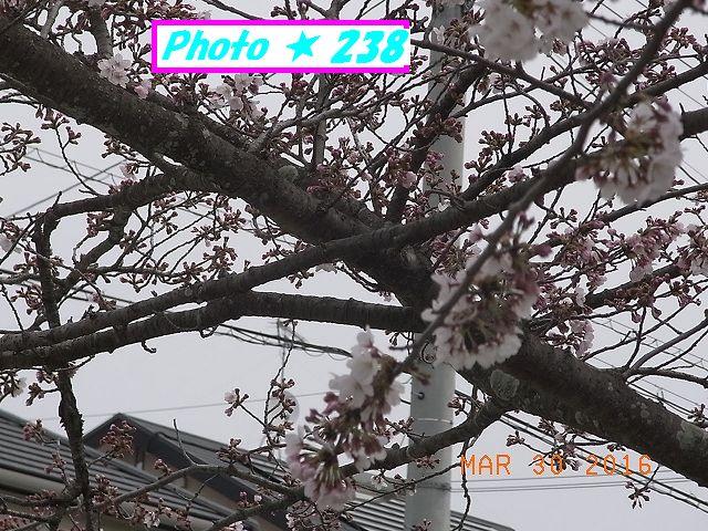2016桜⑤