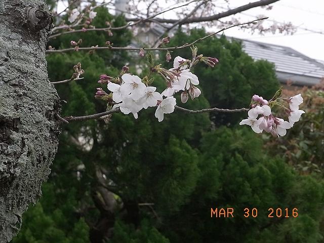 2016桜⑥