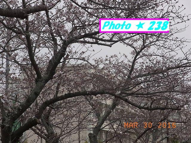 2016桜⑦