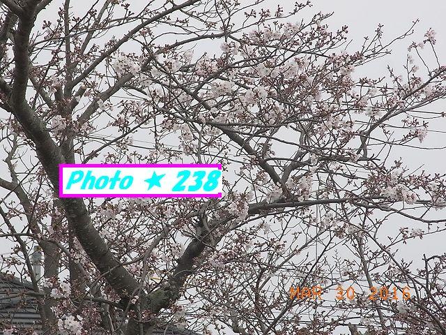 2016桜⑧