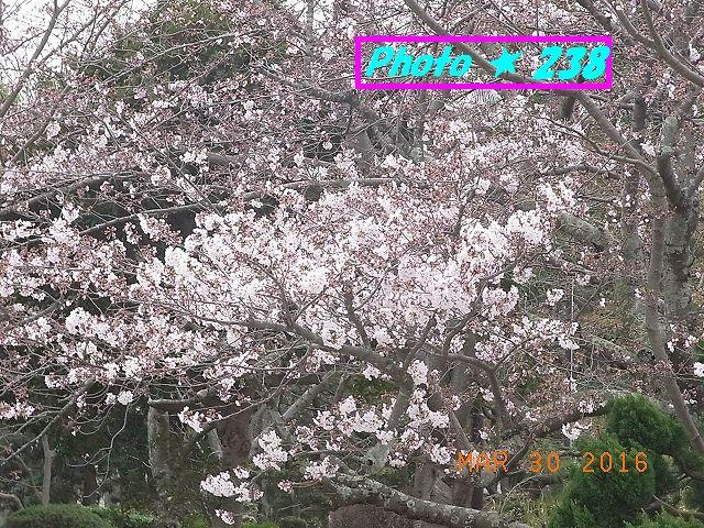 2016桜⑨