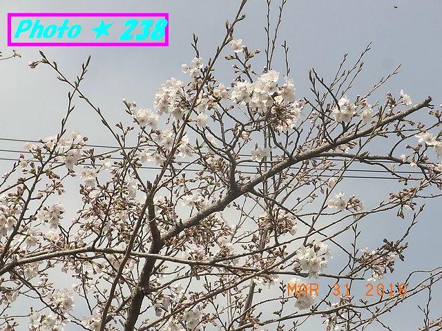 公民館前の桜③