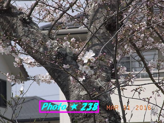公民館前の桜④