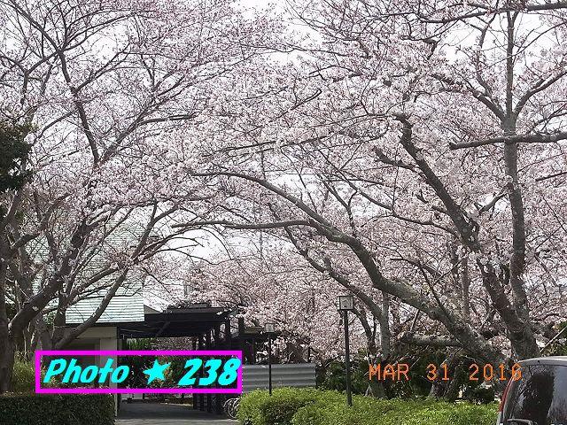 公民館前の桜⑤