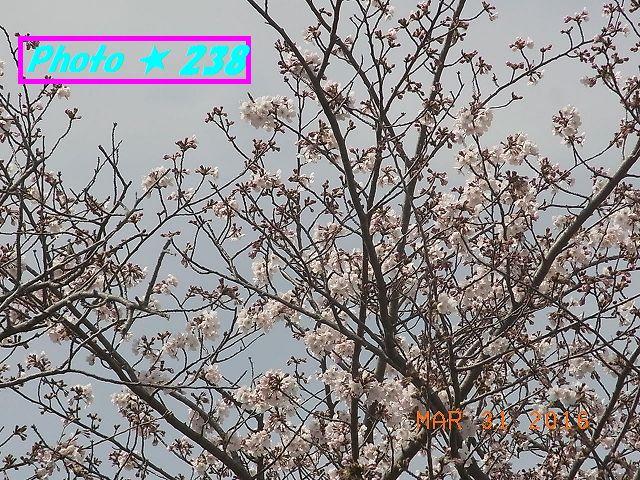 公民館前の桜⑥