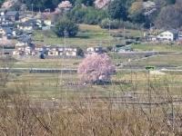 4月6日 わに塚の桜遠望