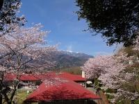 静心寮の桜