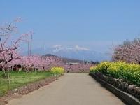 桃と菜の花と八ヶ岳