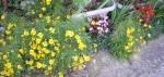 .黄色い花とベコニアjpg