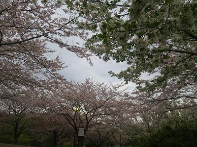 160408 桜1