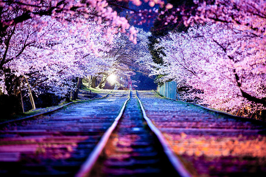 2014-japanese-cherry-blossom-blooming-sakura-26.jpg