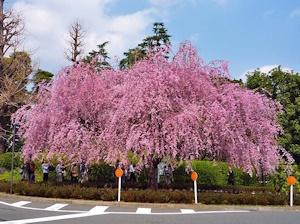 枝垂れ桜20160409