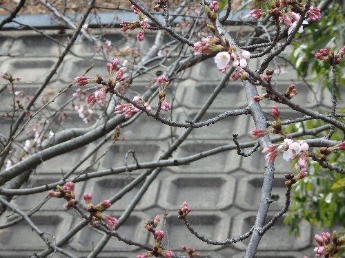 2016・03・30桜.