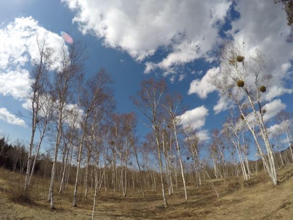 ランニング0326_白樺林