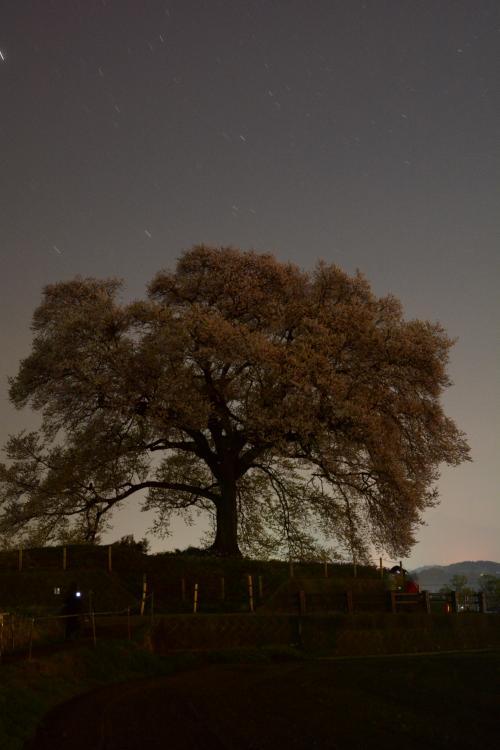 わに塚0410_夜明け前の桜