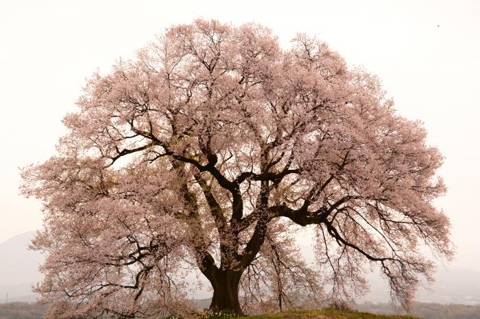 わに塚0410_きれいな樹形