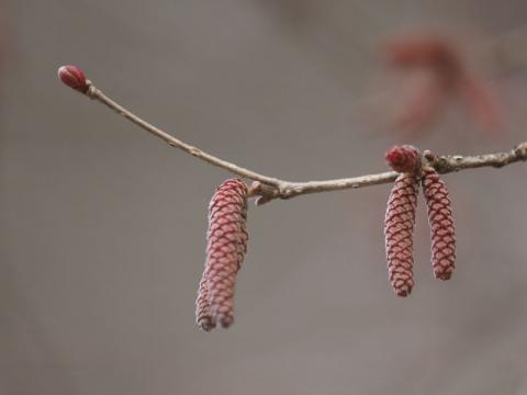 ツノハシバミ花芽160325