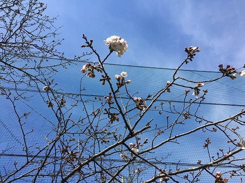 桜は1分咲き