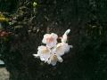 ドウブキ桜