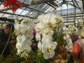 温室の胡蝶蘭