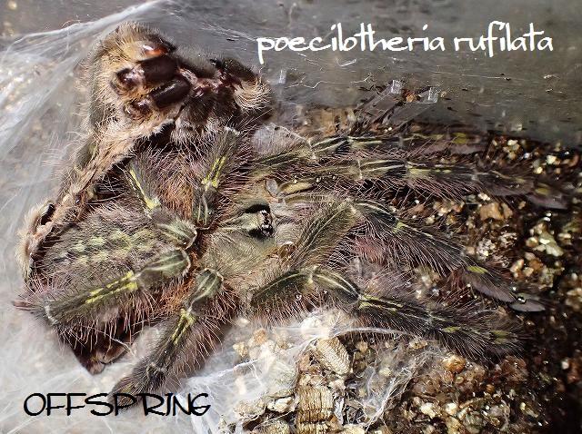 poecilotheria rufilata2013eu01