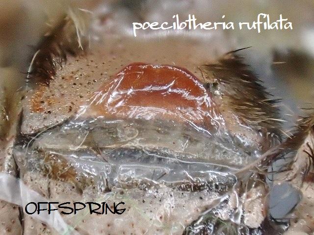 poecilotheria rufilata2013eu02