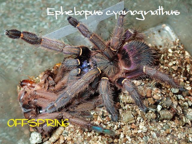 Ephebopus cyanognathus2013eu01